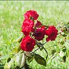 P1080686_red rose