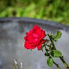 2019-09-22_m1 40x150iso200 red rose__9220004