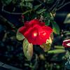 2017-10-19_P1340121_red rose,america night lighter