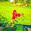 003_red rose_2020-06-16