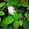 Iceberg White rose   2015-07-18 _P7180351_Clearwater,fl