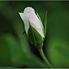 Iceberg White rose   2015-07-18 _P7180299_Clearwater,fl
