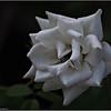 Iceberg White rose   2015-07-18 _P7180298_Clearwater,fl