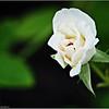 Iceberg White rose   2015-07-18 _P7180352_Clearwater,fl