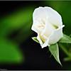 Iceberg White rose   2015-07-18 _P7180350_Clearwater,fl