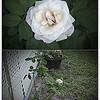 Pristine rose   2015-07-11