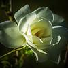 Iceberg White rose
