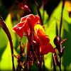 Orange Harvest Irises....Clearwater,Fl      © 2014 RobertLesterPhotography.com