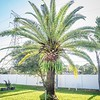 2019-09-10_0845hrs pl512x40ap palm tree's trim_2019-09-10_0845hrs pl512x40ap palm tress trim__9100002