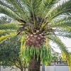 2019-09-10_0845hrs pl512x40ap palm tree's trim_2019-09-10_0845hrs pl512x40ap palm tress trim__9100003