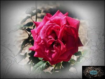 Plants,Flowers,Roses,Trees