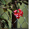 2014-06-09_IMG_1675_Red Flowered Bush_