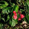 Spicy Jatropha (Jatropha integerrima)_P9284445_Nat butEdgy,blk clip 5 7MILD,MILD_clwtr