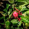 Spicy Jatropha (Jatropha integerrima)_P9284444_Nat butEdgy,blk clip 5 7MILD,MILD_clwtr
