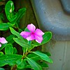 002_zs7 periwinkle_2021-08-02
