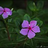 2016-08-23_P8230010_Periwinkle,Clearwater,Fl