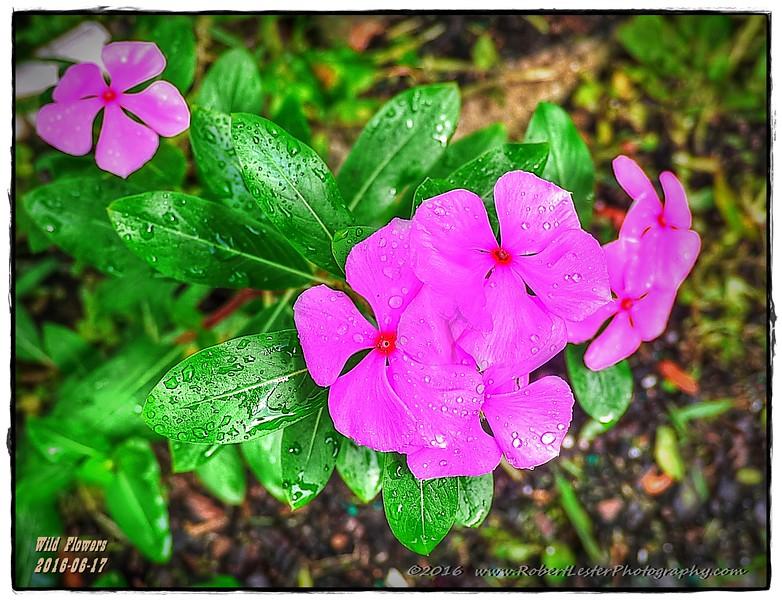 2016-06-17_P1280566_67_68_69_70_tonemapped,painterly mine,lum1 9,strong sharp_Wild flowers,Clearwater,Fl