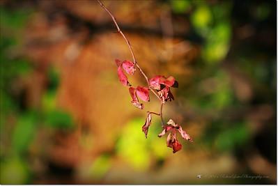 Dying vine