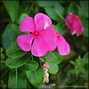 2016-08-23_P8230005_Wild Flower,Clearwater,Fl