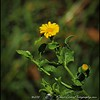 2016-08-23_P8230008_Wild Flower,Clearwater,Fl