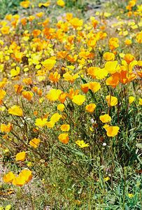 3/6/05 California Poppy (Eschscholzia californica). Wilson Valley Road (north side of road, just west of Hwy. 371 junction). North of Aguanga, Riverside County, CA
