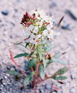 3/13/05 Narrowleaf Suncup? (Camissonia refracta). Between North Entrance and Pinto Basin. Joshua Tree National Park, San Bernardino County, CA