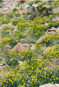 2/27/05 Parish's Poppies (Eschscholzia parishii). Hills above Nude Wash. California Native Plant Society (Riverside-San Bernardino Chapter) field trip. Anza Borrego Desert State Park, Imperial County, CA