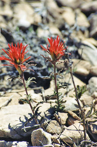 7/4/02 Desert Indian Paintbrush (Castilleja angustifolia). Methuselah Trail, Schulman Grove, Ancient Bristlecone Pine Forest, Inyo National Forest, White Mountains. Inyo County, CA