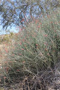 4/3/11 Chuparosa (Justicia californica). Meccacopia Trail, Box Canyon Rd., Mecca Hills, Riverside County, CA