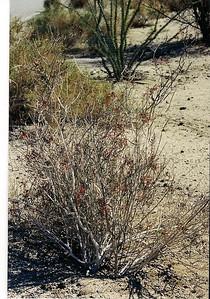 3/8/03 Chuparosa (Beleperone/Justicia californica). Cottonwood Road, south of VIsitor Center. Joshua Tree National Park, Riverside County, CA