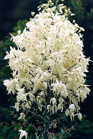 PLANTS: AGAVACEAE (Agave Family)