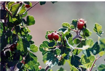 5/26/01 Skunkbush (Rhus trilobata). Jumbo Rocks, Joshua Tree National Park, San Bernardino County, CA