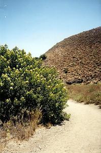 7/4/97 Laurel Sumac (Rhus laurina). La Jolla Valley Loop Trail, Santa Monica Mountains Recreation Area, Los Angeles County, CA