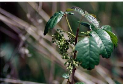 3/23/02 Poison Oak (Toxicodendron diversilobum). Trans Preserve Trail, Santa Rosa Plateau Ecological Reserve, Riverside County, CA