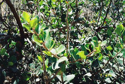 7/4/97 Lemonade Berry (Rhus integrifolia). La Jolla Valley Loop Trail, Santa Monica Mountains National Recreation Area, Los Angeles County, CA