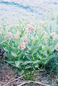 7/5/05 Showy Milkweed (Ascelpias speciosa). Twin Lakes Rd, Lower Twin Lakes. Toiyabe National Forest, Eastern Sierras, Mono County, CA