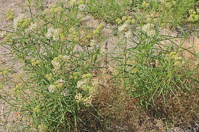 7/24/11 Narrow-leaf Milkweed (Asclepias fascicularis). Vista Grande Trail, Santa Rosa Plateau Ecological Reserve, Riverside County, CA