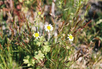 2/27/05 Rock Daisy (Perityle emoryi). Nude Wash. California Native Plant Society (Riverside-San Bernardino Chapter) field trip. Anza Borrego Desert State Park, Imperial County, CA