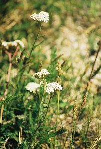 7/8/00 Common Yarrow (Achillea millefolium). Onion Valley, Eastern Sierras, Inyo National Forest, Inyo County, CA