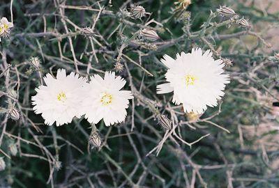 3/13/05 Desert Chicory (Rafinesquia neomexicana). Between North Entrance and Pinto Basin. Joshua Tree National Park, San Bernardino County, CA