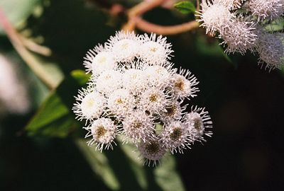 4/9/05 Ageratina / Sticky Snakeroot / White Thoroughwort (Ageratina adenophora). Lower Arroyo Seco, Gabrielino Trail (JPL to Oakwilde), San Gabriel Mountains, Los Angeles County, CA
