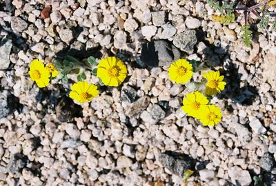 3/13/05 Wallace Eriophyllum (Eriophyllum wallacei). Between North Entrance and Pinto Basin. Joshua Tree National Park, San Bernardino County, CA