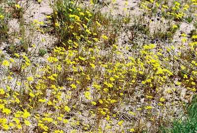 3/13/05 Bigelow Coreopsis (Coreopsis bigelovii). Pipes Canyon Rd, Yucca Valley, San Bernardino County, CA