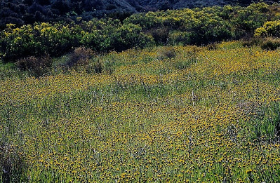2/22/03 Menzie's Fiddleneck (Amsinckia menziesii var. menziesii). Selby Road, Carrizo Plain National Monument, San Luis Obispo County, CA