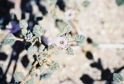 3/7/04 Palmer Coldenia (Tiquilia palmeri). Coyote Canyon, Anza Borrego Desert State Park, San Diego County, CA