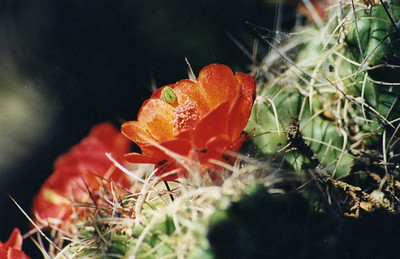"5/24/03 Claret Cup Cactus, Mojave Mound Cactus (Echinocereus triglochidiatus). Black Canyon Road between Mid-Hills & Hole-in-the-Wall. East Mojave National Preserve, San Bernardino County, CA. Found in Pinyon-Juniper & Joshua Tree Woodlands at elevations above 3,500 ft. Plant forms dense clumps up o several hundred heads, 16"" tall. In Spring, top of plant becomes covered with bright scarlet flowers. Some of best shows in East Mojave around Cima Dome & Lanfair Valley."