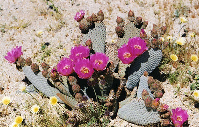 3/21/04 Beavertail Cactus (Opuntia basilaris). Bajada All-Access Nature Trail, Joshua Tree National Park (S. of Cottonwood Visitor Center)., Riverside County, CA