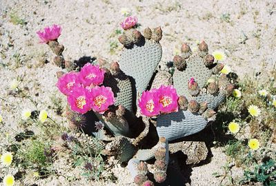 3/21/04 Beavertail Cactus (Opuntia basilaris). Bajada All-Access Nature Trail (roadside off Pinto Basin Rd, north of Cottonwood Visitor Center).