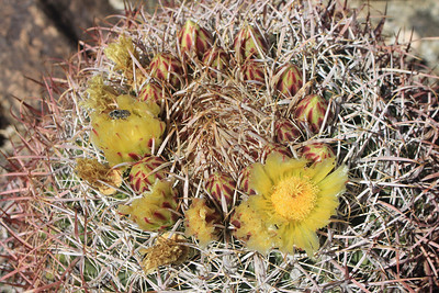 4/3/11 California Barrel Cactus (Ferocactus cylindraceus). Shaver's Valley, Eastern Riverside County, CA