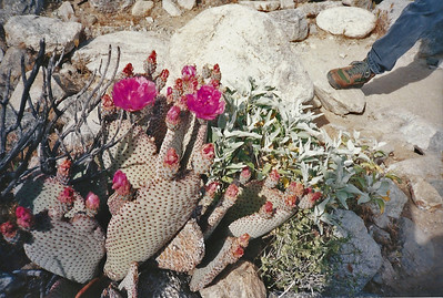 4/9/95 Beavertail Cactus (Opuntia basilaris). Cactus Loop Trail across from Tamarisk Grove Campground. Anza Borrego Desert State Park, San Diego County, CA